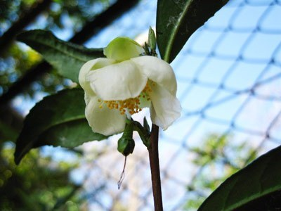 やぶきた茶の花