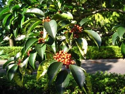 クロガネモチの葉と実