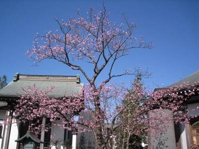 かわづ桜(河津桜)
