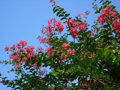 さるすべりの花