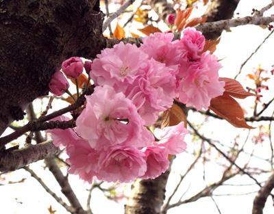 八重桜(ぼたん桜)
