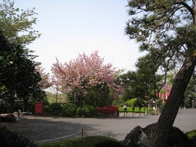 八重桜とツツジと松